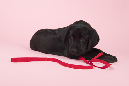 Cute little Chocolate Labrador puppy with red leash on pink background