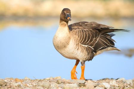 greater white-fronted goose -Anser albifrons - Stockfoto
