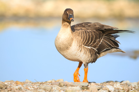 greater white-fronted goose -Anser albifrons - Archivio Fotografico