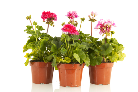 Pelargoniums in wooden crate for the garden Stock Photo