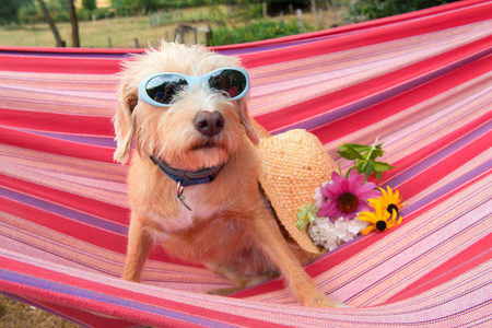 Portrait outdoor little cross breed dog with sunglasses and flowers in colorful striped hammock