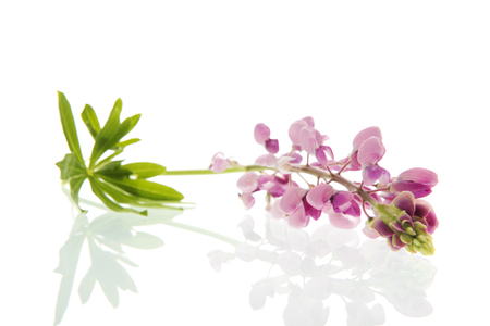 Cut single pink Lupine flower isolated over white flower