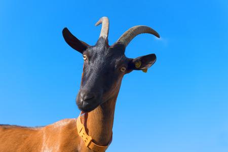 Female Brown goat portrait against blue sky Banque d'images - 116090649