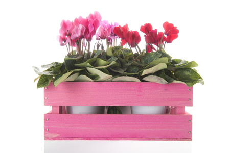 Red and pink Cyclamen in crate isolated over white background