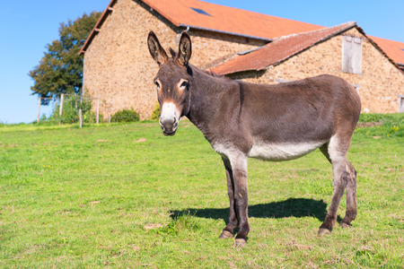 Donkey in meadows in front of the farm