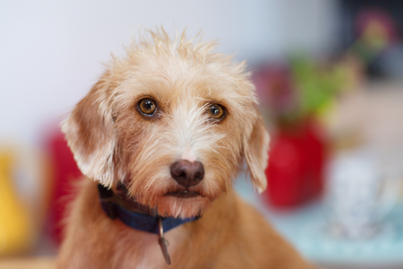 Portrait indoor little cross breed dog in colorful interior