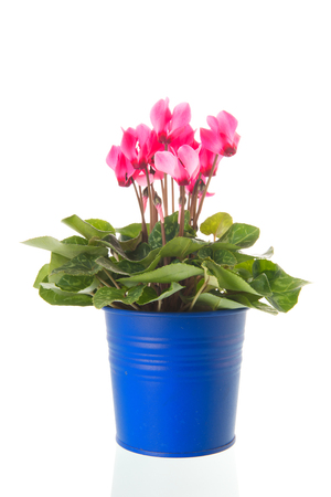 Pink Cyclamen in blue bucket isolated over white