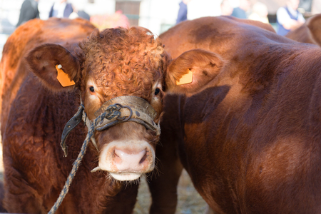 Market in French Limousin with brown Limousine cows