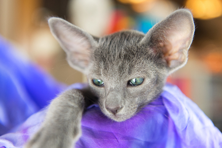 Close up Blue Oriental shorthair kitten Stock Photo - 116984683