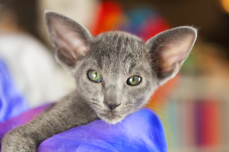 Close up Blue Oriental shorthair kitten Stock Photo - 119052717