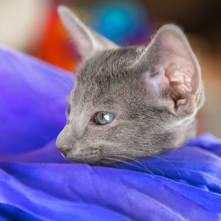 Close up Blue Oriental shorthair kitten Stock Photo - 119053009