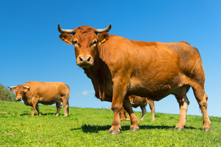 French agriculture landscape with brown Limousine cows