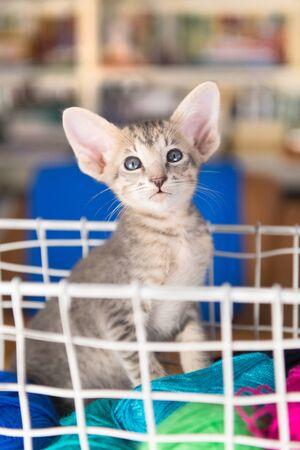 Blue Oriental shorthair kitten in wool basket