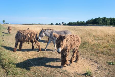 Famous donkeys with long shaggy hair in French island Ile de Re