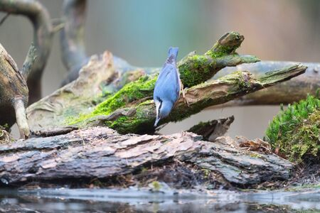 Eurasian nuthatch sitting on tree trunk in nature forest Zdjęcie Seryjne