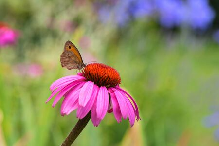 Close up butterfly on purple coneflower