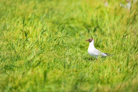 Black-headed gull in green grass Banque d'images