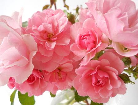 흰색 배경에 핑크 장미의 무리입니다. 꽃 배경과 장식.