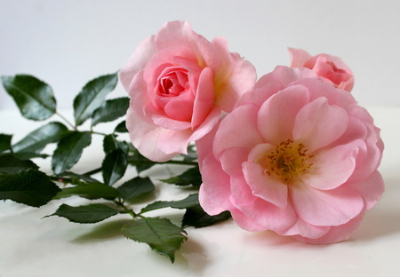 Pink roses on a white background. Lying blooming roses. Floral background and decoration. photo