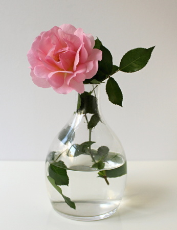 brigt: Pink rose in a glass vase on a white background. Floral decoration. Still life with flower.