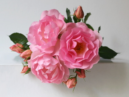 Pink roses on a white background. Bunch of blooming flowers. Floral decoration. photo