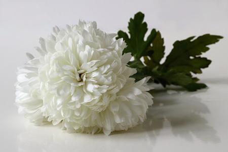 georgina: White chrysanthemum. Floral decoration. Autumn flower.