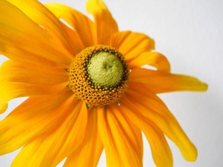 ox eye: Black eyed susan flower. Yellow rudbeckia. Macro of flower. Floral background. Stock Photo