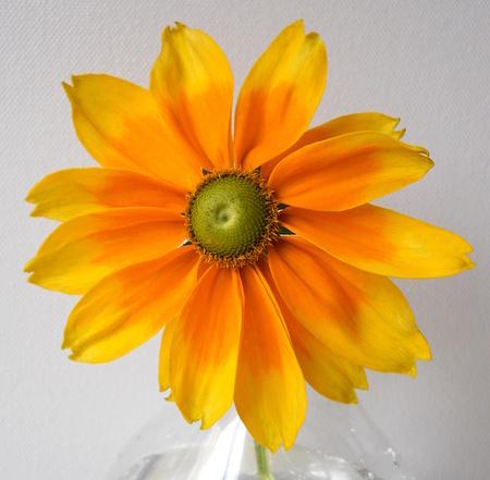 ox eye: Black eyed susan flower. Yellow rudbeckia. Floral decoration.