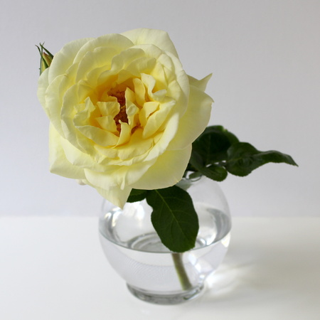 glass vase: Yellow rose in a glass vase.
