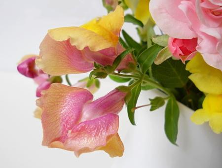 antirrhinum majus: Snapdragon flower. Detail of antirrhinum majus flower. Stock Photo