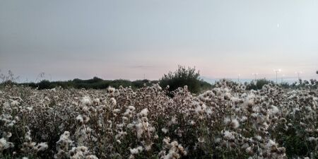 Evening in the meadow. Wonderful sunset. Blooming thistle.