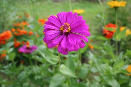garth: purple zinnia Stock Photo
