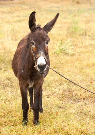 donkey on a leash watching at camera photo