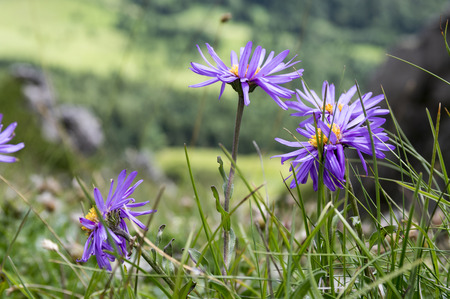 Aster alpinus, Alpine aster in bloom in Mala Fatra mountains, wild plants with violet flowers Stock Photo