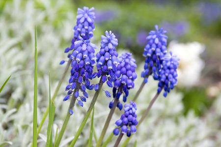Muscari armeniacum, blue spring bubbly flowers in bloom in the garden Stock Photo