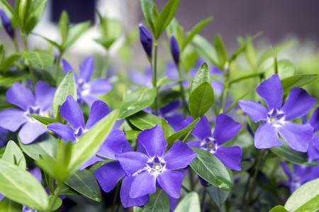 Vinca minor lesser periwinkle flower, common periwinkle in bloom, ornamental creeping flowers
