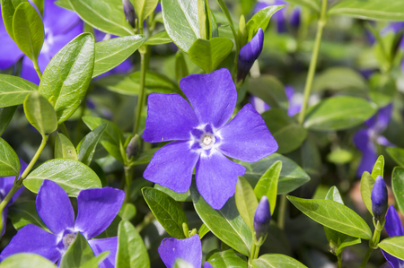 Vinca minor lesser periwinkle flower, common periwinkle in bloom, ornamental creeping flowers