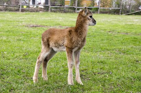 European moufflon baby animal Stock Photo