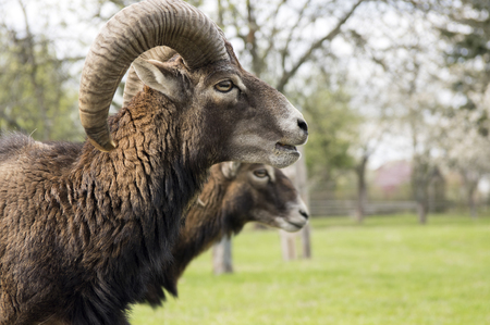 European mouflon animals, male and female
