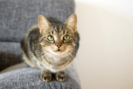 Curious tomcat on gray sofa, eye contact