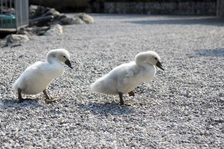2 つの小さなかわいい白鳥子供たちが石だらけの道、面白いシーンの上を歩く