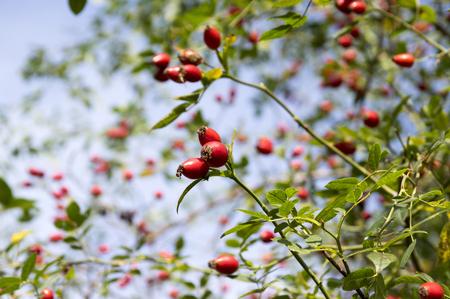 Rosa Canina, Hund-Rose mit gereiften frischen roten Früchten, Hagebutten, weiten Blick, gegen den blauen Himmel Standard-Bild - 83286545