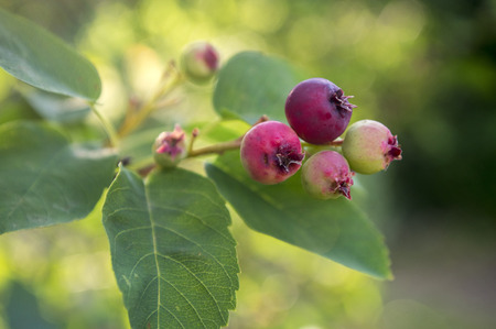 pome: Amelanchier ovalis tasty ripening fruits berries Stock Photo