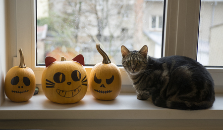 One domestic tomcat sitting on windowsill and waiting for halloween celebration with two winter pumpkins, painted frightening Jack-o-lantern face, eye contact