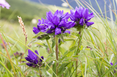 Campanula glomerata, clustered bellflower, Dane's blood bell-flowers in bloom, mountain plants, one stem, sunny day Stockfoto
