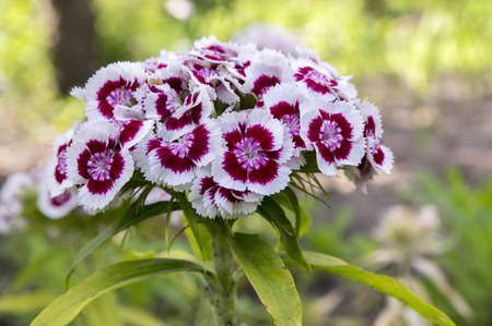 Dianthus barbatus in bloom dark purple flowers with white edge dianthus barbatus in bloom dark purple flowers with white edge stock photo 83286590 mightylinksfo