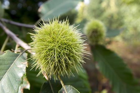 Castanea sativa, sweet chestnut, marron fruit, spiny cupules, unripened nuts