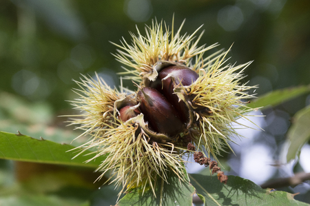 spiny: Castanea sativa, sweet chestnut, marron fruits, spiny cupules