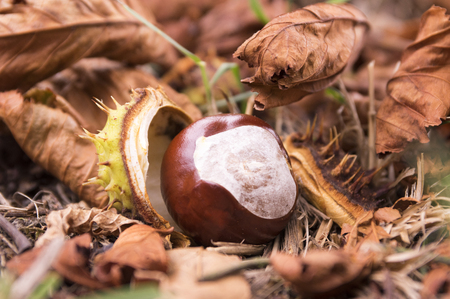Aesculus hippocastanum, horse-chestnut, conker tree fruit Stock Photo