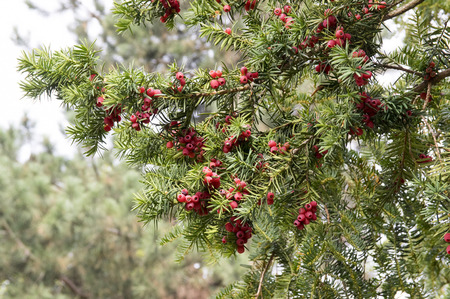 Taxus baccata, English yew, European yew, coniferous shrub with poisonous and bitter red ripened berry fruits Zdjęcie Seryjne